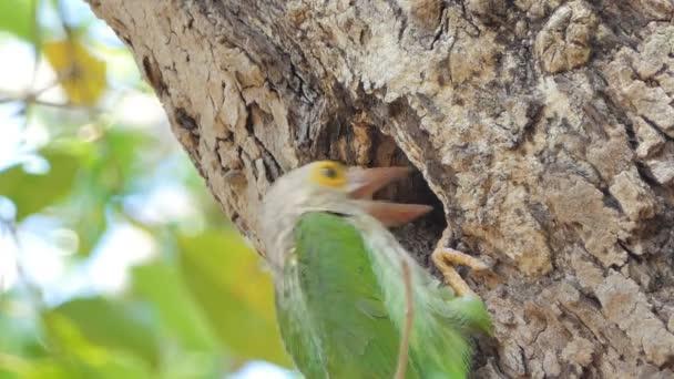 Uccello maschio Lineated Barbet (Megalaima lineata) sta alimentando uccello femmina in nidi su alto albero in foresta pluviale tropicale.