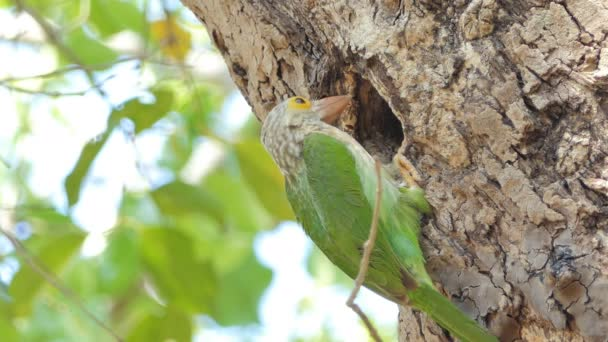 Female Lineated Barbet bird (Megalaima lineata) in nests on high tree in tropical rain forest.