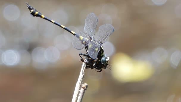 Dragonfly gyönyörködtető méh etetésére.