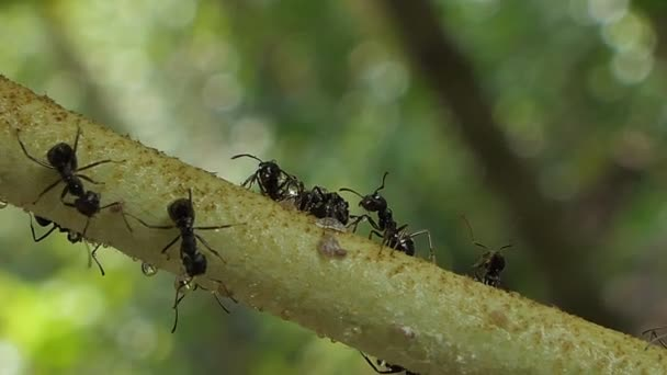 Black ant walking on branch in tropical rain forest.