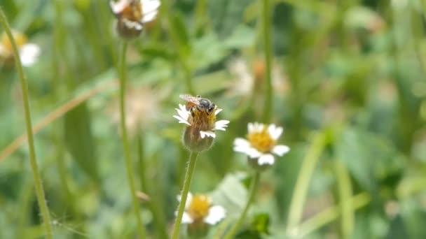 Včelí nektar bílého květu na dvorku. Přírodní pozadí.