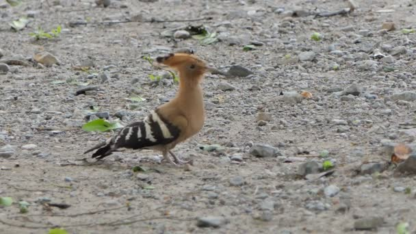 Common Hoopoe bird (Upupa epops) are searching insects on ground in nature.