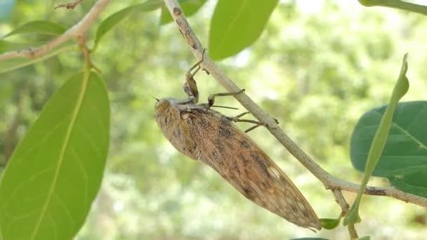 Cicada na zeleném listu v tropickém deštním lese.