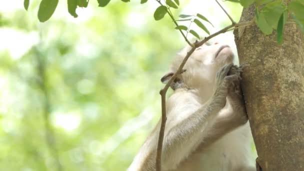 Opice (Macaque rhesus) sedící na stromě ve smíšeném opadavých lesích