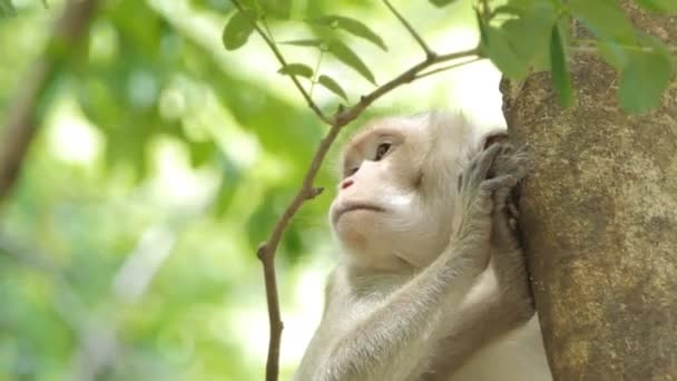 Majom (Macaque Rhesus) ül a fán vegyes lombhullató erdőben