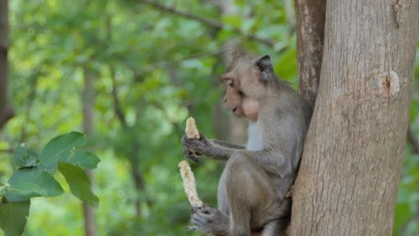 Monkey (Macaque rhesus) sitting on the tree in mixed deciduous forest