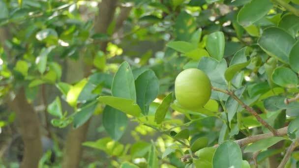 Zitrone auf Baum im Obstgarten des ländlichen Thailand.