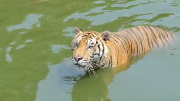 Bengal tiger swimming, real time.