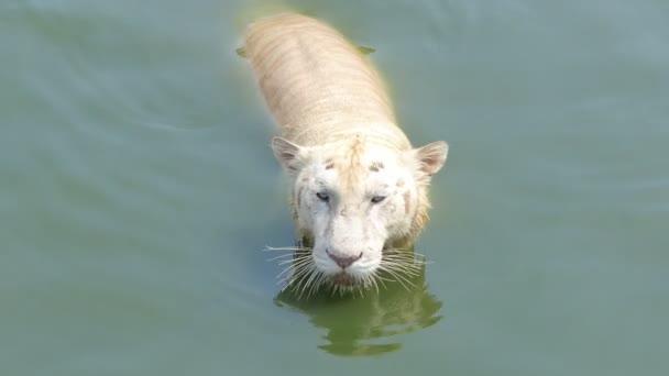 La tigre bengala (Panthera tigris tigris) nuotava nello stagno, in tempo reale.