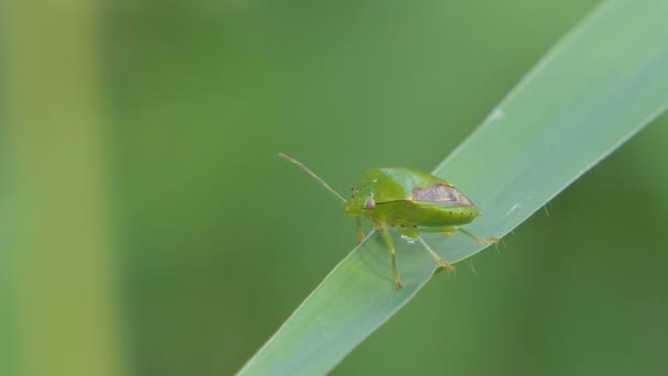 Brouk zelený (Rhynchocoris humeralis Thunberg) na zeleném listu.