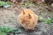 Fotografie Zrzavá kočka. Kočka na ulici