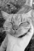 Fotografie Kočka detail. Ruka hladila kočka