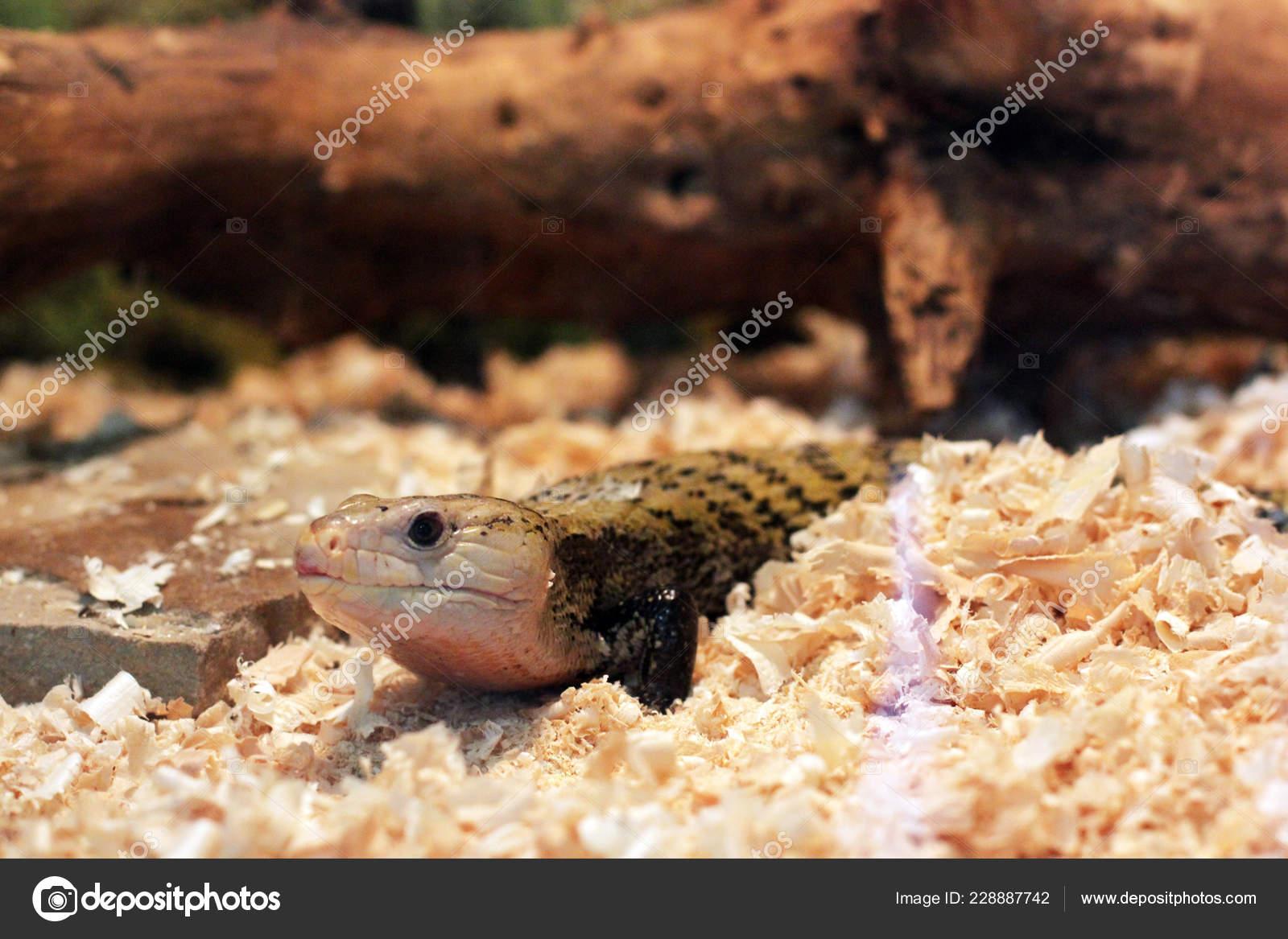Lizard Terrarium Stock Photo C Amor7 228887742