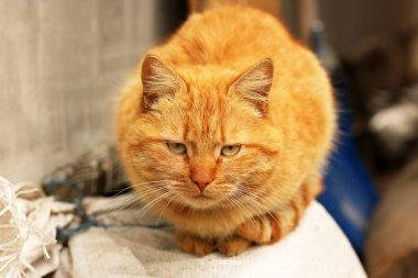 """Картина, постер, плакат, фотообои """"Красивая красная кошка на улице"""", артикул 268281436"""