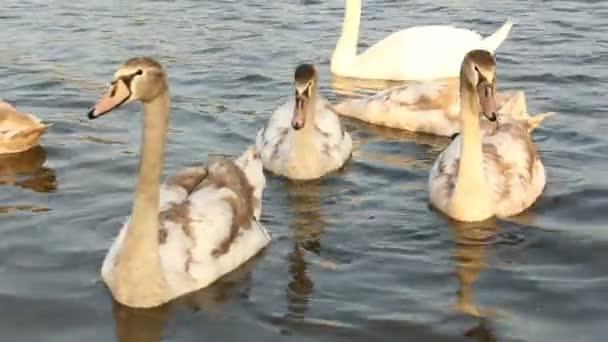 Schwäne im See. Eine Vogelfamilie. Schwimmvögel