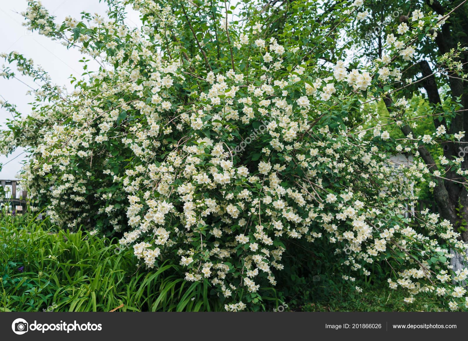 Gelsomino arbusto con fiori bianchi foglie verdi piena for Fiori verdi