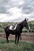 Pferd auf der Natur mit bewölktem Himmel. Porträt des braunen Pferdes im Fahrerlager. Reiten auf dem Pferd