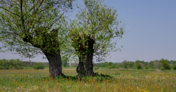 Beautiful, old trees on the meadow on sunny day.