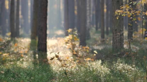 Ráno v krásném lese. Listí padající ze stromů. Svět plný podzimních barev.