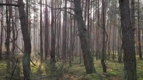 Podzimní teplé světlo v borovém lese.