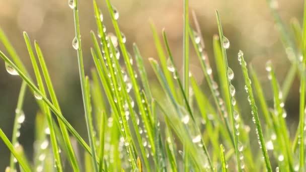 Kapky rosy na zelené, čerstvé stébla trávy.