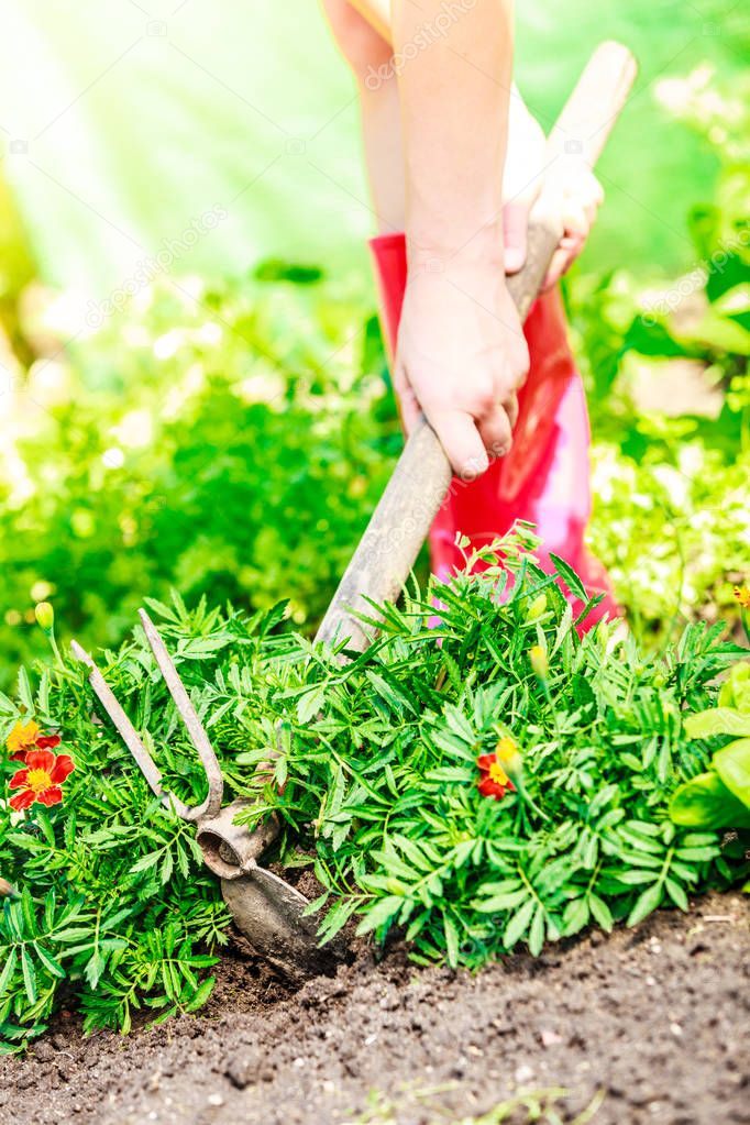 Summer work in the garden. Closeup female hands holds tool spade replanting marigold flowers outdoor