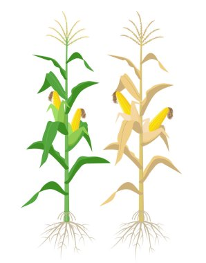Ripe Maize plants isolated on white background with yellow corncobs vector illustration in flat design. Mature corn plant with ears on a stalk.