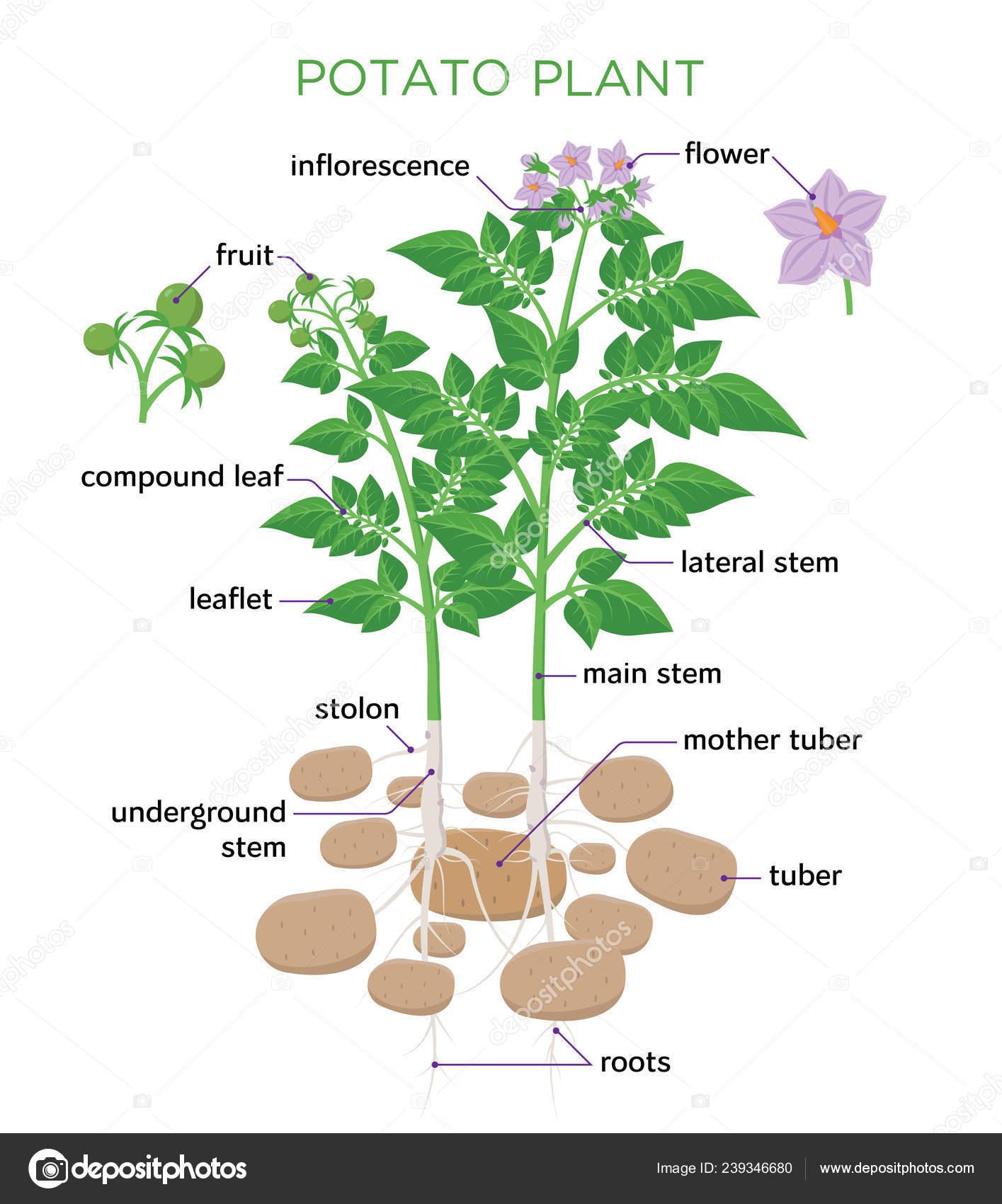 potato plant vector illustration in flat design potato growth rh depositphotos com  diagram of potato planter