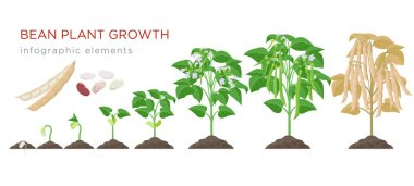 Bean plant growth stages infographic elements in flat design. Planting process of beans from seeds sprout to ripe vegetable, plant life cycle isolated on white background, vector stock illustration.