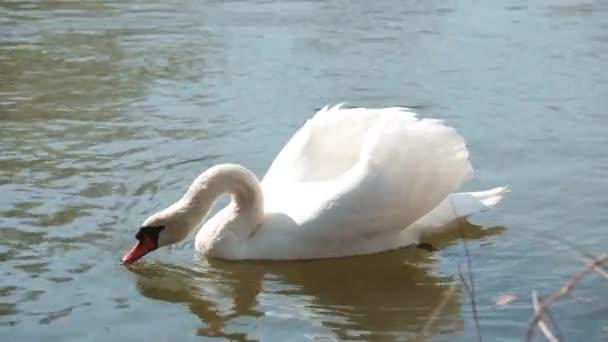 Hattyú úszás napsütéses napon a folyón a városi parkban. Wiild élet egy városi parkban.