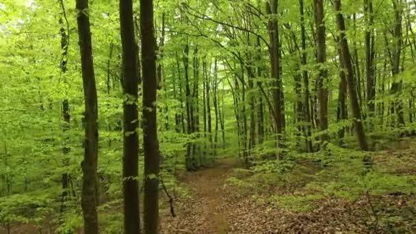 schöner grüner Buchenwald im Sommer