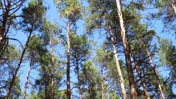 erdei fenyő táj, a fák imbolygott a szél