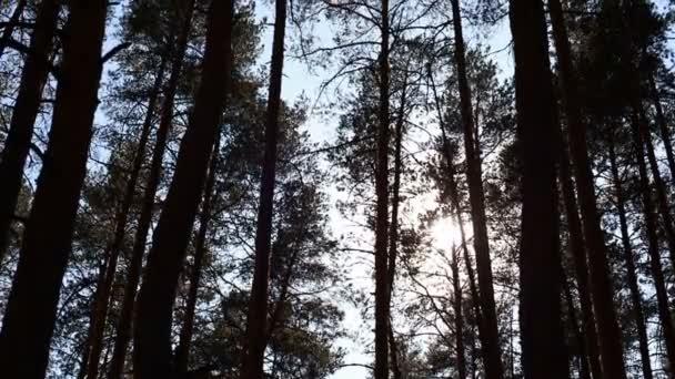 borovice lesní, stromy se houpat ve větru