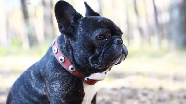 kutya Francia Bulldog az erdőben