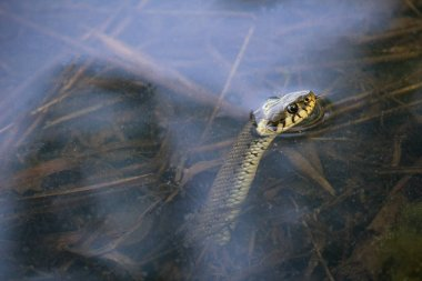 Grass snake, natrix natrix looking from pond