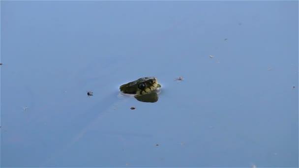 Natrix Natrix, grass snake in pond