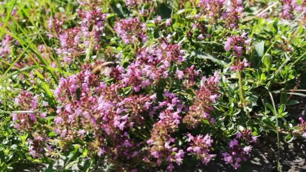 Včely na květu fialové