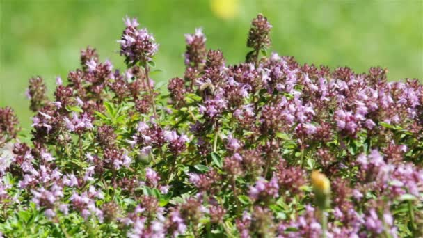 Včely na květu fialová květina s blured pozadím