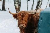 Porträt von Hochlandrindern Braune Kuh steht neben grünem Gestell in Winterlandschaft