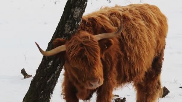 Hochlandrinder kratzen im Winter an Baum