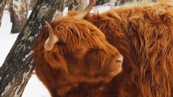 Hochlandrinder braune Kuh