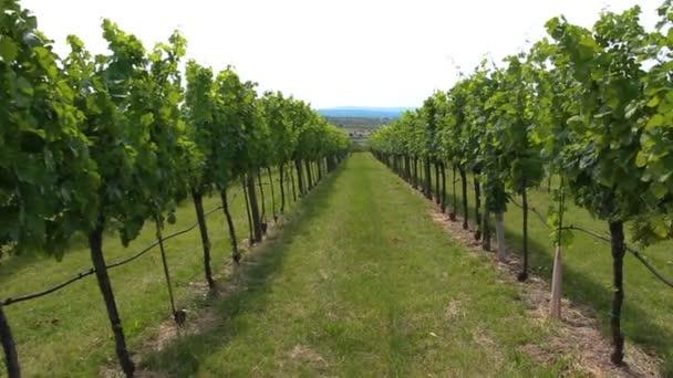 zobrazení řady vinic s mladými hrozny ve dne