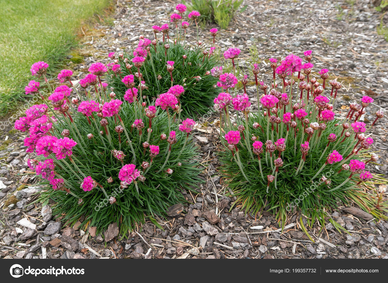 Sea Thrift Pink Flowers Full Bloom Spring Season Stock Photo