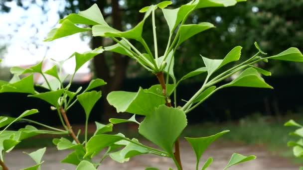 Detail of Ginkgo Tree. Zoom in.