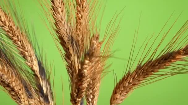 Sheaf of Barley on the Green Background. Rotation.