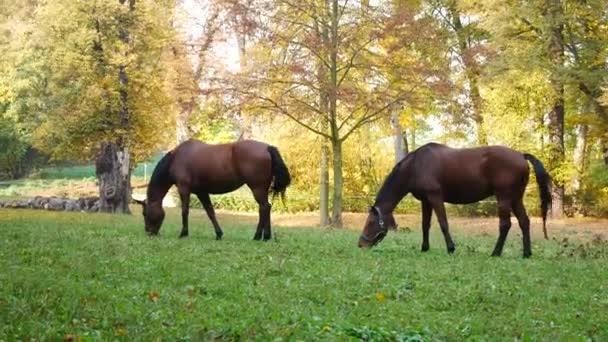 Koně pasoucí se na louce. Ruční záběr.