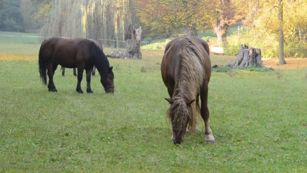 Koně pasoucí se na louce. Pohyb kamery