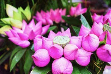 Bunch of lotus flowers in Chi Minh City, Vietnam