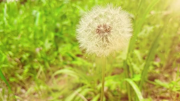 softly white flower dandelion on the green grass background, concept of spring is coming, slow motion movement with warm light natural flares