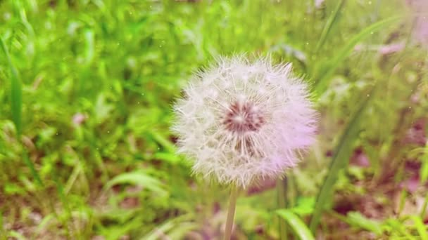 jemně bílý květ pampelišky na pozadí zelené trávy, pojem jaro se blíží, Zpomalený pohyb s světle přírodních světlice